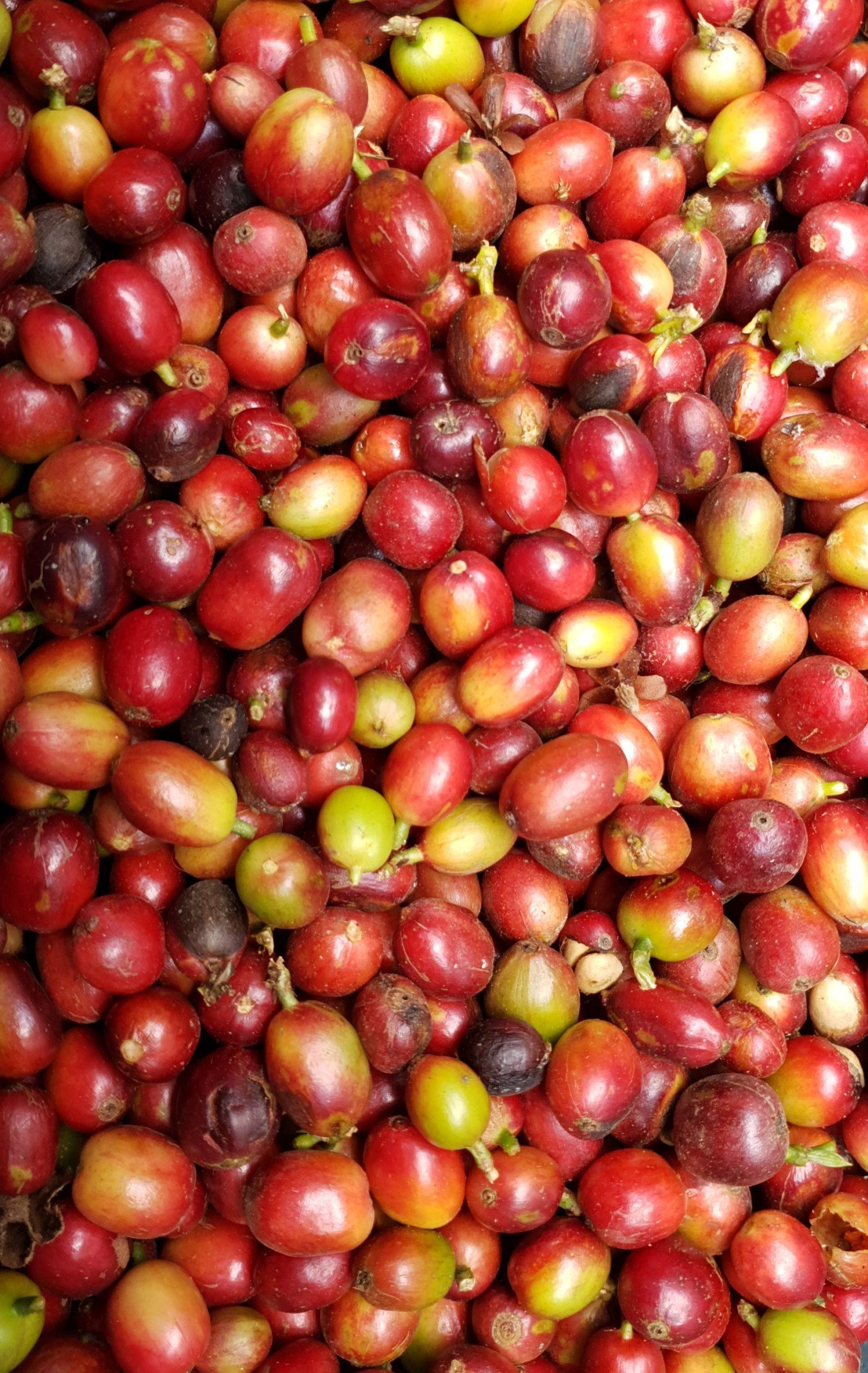 Sac de café de Colombie transportés par la BSC